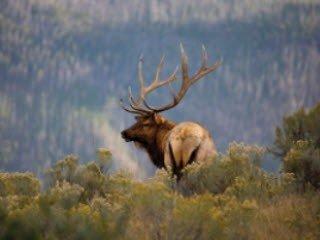 Elk on Hill