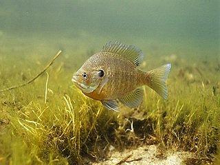 Fish Files: Bluegill