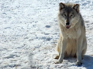 file_167245_0_wolf