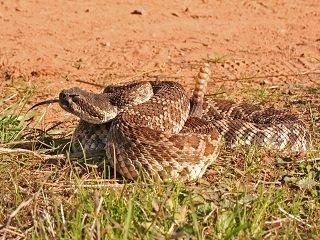 Rattlesnake Bites