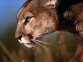 file_167285_0_cougar
