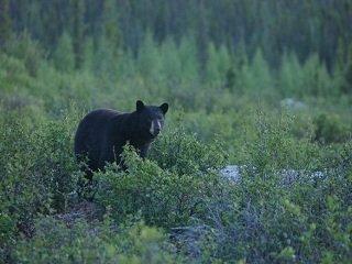 file_167841_0_black_bear