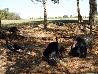 file_168081_0_up_close_turkeys
