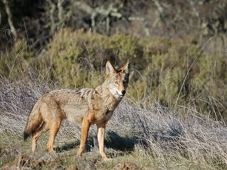 file_168135_0_coyote