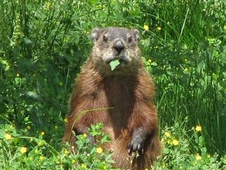 file_168163_0_groundhog