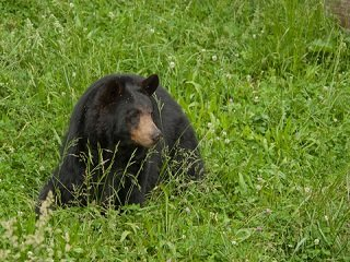 file_168171_0_black_bear