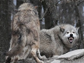 Minnesota Teenager Survives Wolf Attack