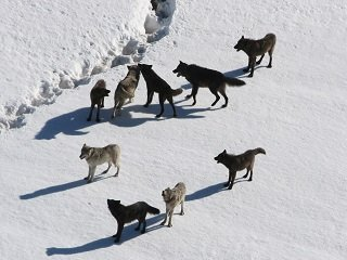 Gibbon wolf pack standing on snow; Doug Smith; March 2007