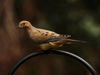 Dove Season Basics