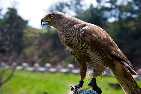 Falcon Cams Reveal Complex Hunt Maneuvering