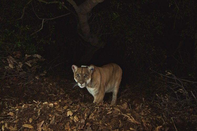 Famed P-22 Mountain Lion Under Los Angeles Home