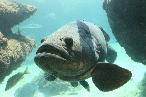 Goliath Grouper Caught Off Florida Beach