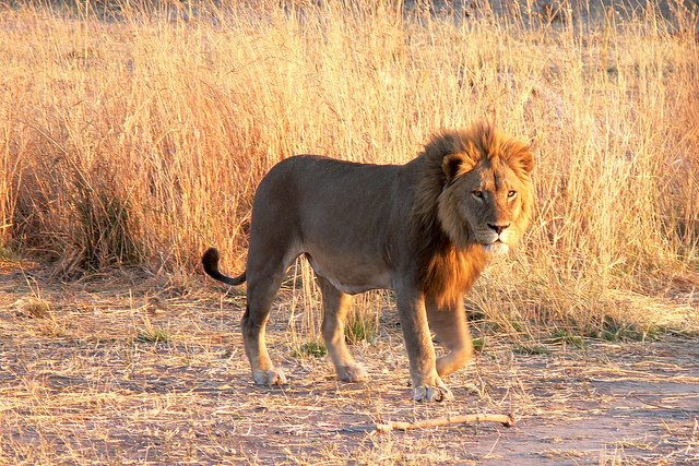 Zimbabwe Wildlife Area Wants to Move or Kill 200 Lions