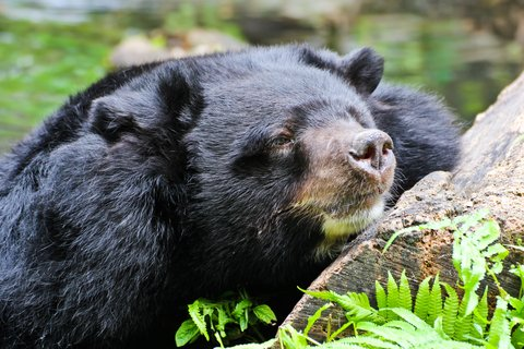 black bear sleep