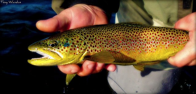 Tips for Catching High Sierra Brown Trout