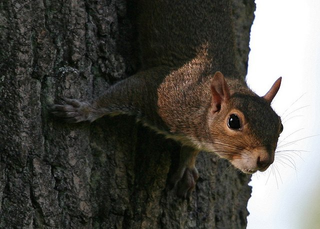 Squirrel Hunting Offers Fun Challenge, Tasty Meal