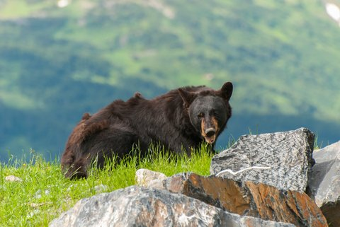 bear on mountain