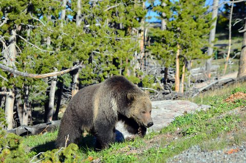grizzly on hill