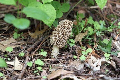 5 Tips for Hunting Morel Mushrooms