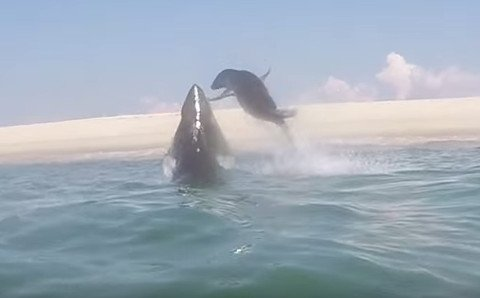 Watch This Seal Barely Evade a Great White Shark Attack