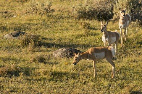 antelope american