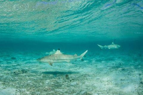 shark blacktip