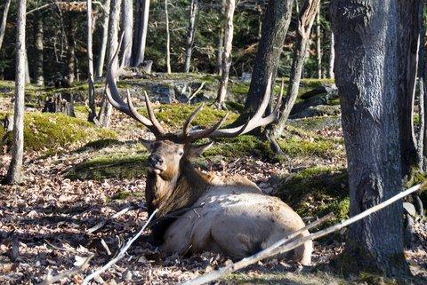 How to Field Dress an Elk