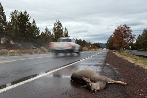 roadkill deer