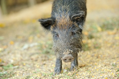 Considerations for Late Season Hog Hunting