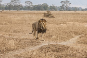 South African Lion Mauls Unlawful Hunter