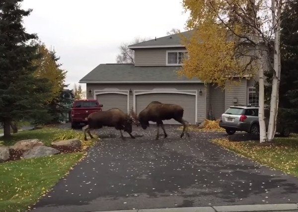 Bull Moose Brawl on Suburban Alaska Street