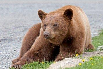 Bears Converge on Three Rivers, California