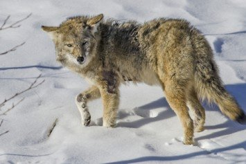6 Ways to Sharpen Your Coyote Hunting Skills