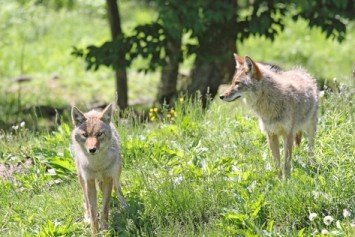 Bizarre Coyotes in Marin County Could be on Mushrooms