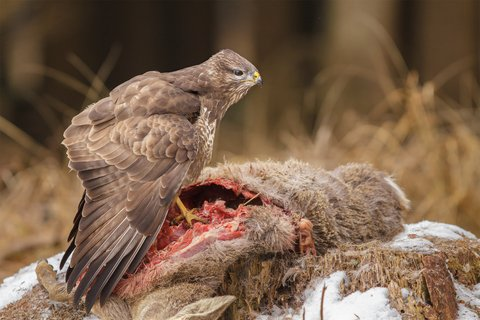 deer carcass buzzard