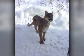 Mountain Lion Put Down After Killing Dog, Attacking Another