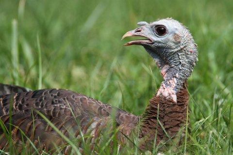 wild turkey 2