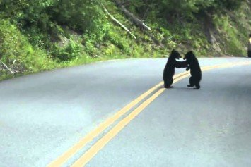 Watch These Playful Bear Cubs Block Traffic
