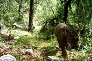 Last Known US Jaguar Filmed in Arizona