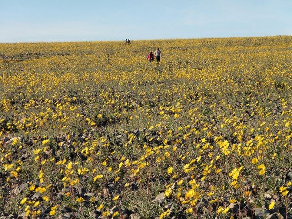 wildflowers-deathvalley