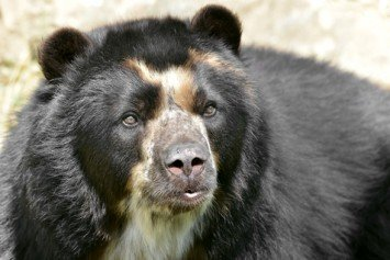 Join National Geographic to Help Preserve Spectacled Bear