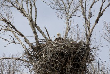 Watch Live Bald Eagles Caring for Young