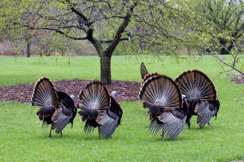tom turkeys in field