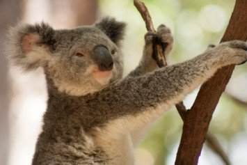 Famed Hollywood Mountain Lion Accused of Koala Zoo Mauling