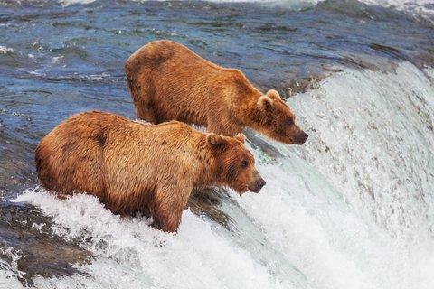 grizzlies kodiak