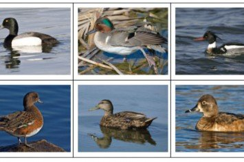 Quiz: Can You Identify These Different Types of Ducks?