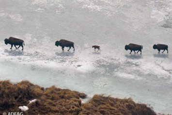 Wood Bison Calves in Alaska a Promising Sign for Conservation