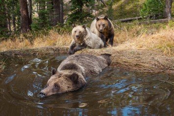 Rub a Dub Dub, Grizzly Bears in a Tub