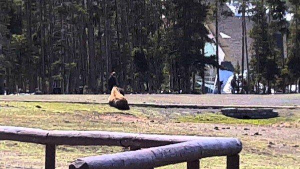 bison pet