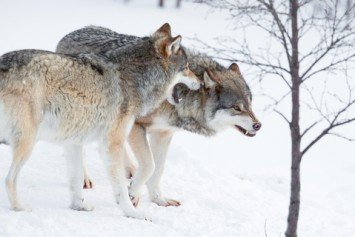 British Skier Escapes Wolves in Dramatic Survival Story